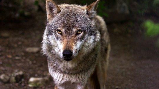 Quelle était la signification du loup pour les Vikings ?